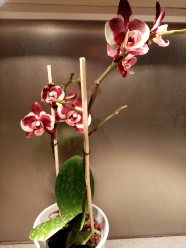 Orkide1